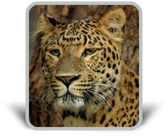 картинка с леопардом и тенью